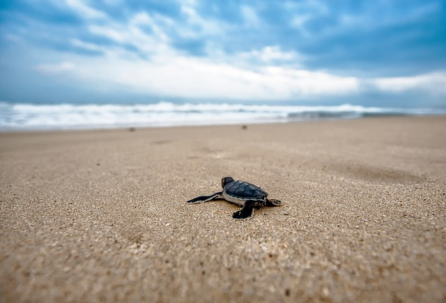 a turtle journeys to the sea